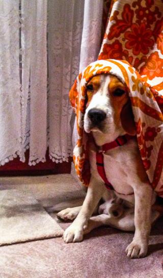 Auf dem Kopf eines Beagles liegt eine Gardine.