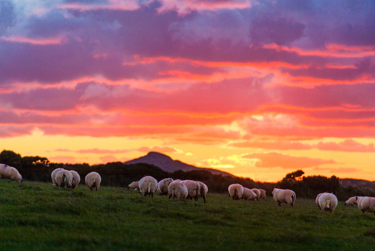 Schafe abends auf einer Weide